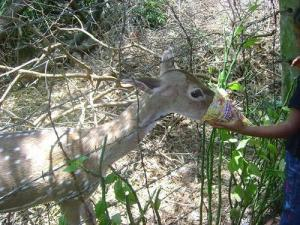 deer-eating-popcorn